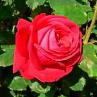 Trandafir Aida (1 butas), trandafir rosu, butasi de trandafiri
