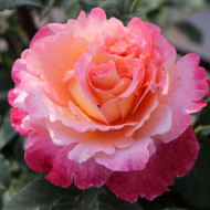 Trandafir Augusta Luise (1 butas in ghiveci 2 l) cu flori mari, foarte parfumate, intr-un degrade superb de galben, portocaliu, roz, butasi de trandafiri Tantau