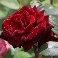 Trandafir Barkarole (1 butas in ghiveci 2 l) cu flori mari, catifelate, intr-o nuanta foarte inchisa de rosu si parfum dulce, butasi de trandafiri Tantau