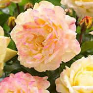 Trandafir Lampion (1 butas in ghiveci 2 l) formeaza buchete florale superbe, galbene cu marginile petalelor rozalii, butasi de trandafiri Tantau