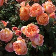 Trandafir Orange (1 butas), portocaliu chilimbar catarator, butasi de trandafiri