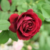 Trandafir Sofia (1 butas), trandafir cu flori superbe de culoare bordo, butasi de trandafiri
