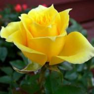 Trandafir Sunblest (1 butas), flori mari galbene, butasi de trandafiri