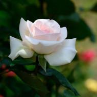 Trandafir Swan Lake (1 butas), trandafir urcator alb, butasi de trandafiri