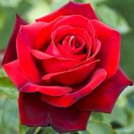 Trandafir Teahibrid rosu, butas cu flori mari rosii, Yurta
