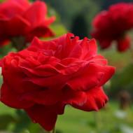 Trandafir Teahybrid Dame de Coeur, (1 butas in ghiveci 2 l) cu flori parfumate foarte mari, de culoare rosu intens, Yurta
