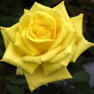 Trandafir Teahybrid Golden Perfume (1 butas in ghiveci 2 l), butasi de trandafiri galbeni parfumati, butasi de trandafiri