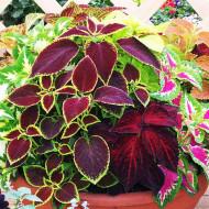 Urzicuta decorativa mix (0,1 g), planta anuala, frunze foarte colorate, Agrosem