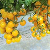 Yolita F1 (500 seminte) de tomate tip cherry galbene, crestere nedeterminata, Syngenta