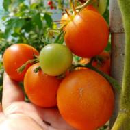 Zlatava (30 seminte) rosii portocalii cu miez rosu, nedeterminate, Anglia