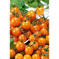 Figiel - 0.5 gr - Seminte tomate Figiel tip Cherry Tomate Portocalii de la Ekofol
