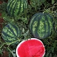 Seker F1 - 500 sem - Seminte de pepene verde foarte aromat si gustos rezistenta mare dupa recoltare de la Yuksel