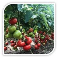 Seminte rosii Yety F1 (500 seminte), crestere nedeterminata, Sakata
