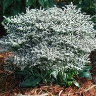 Saraturica perena (0.05 grame) seminte de flori puternic ramificate, Agrosem