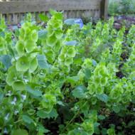Molucela (0.5 grame) seminte de planta decorativa anuala cu flori mici tubulare tip spic, Agrosem