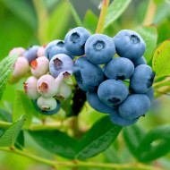 Afin Nelson, butasi de afine soi foarte rezistent la ger, cu fructe mari si gust excelent, Yurta