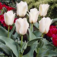 Albion Star (8 bulbi), lalele galben pal, bulbi de flori