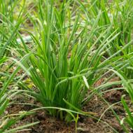 Allium tuberosum (ghiveci 10,5 cm), rasad planta aromatica usturoi de frunze, ceapa chinezeasca