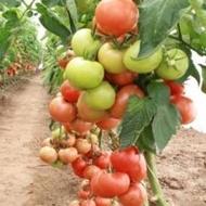 Amaneta F1 - 500 sem - Seminte de rosii cu fructe ferme de culoare rosu-stralucitor la coacere ajungand la greutati de 200-220 grame ce se preteaza cultivarii in spatii incalzite si neincalzite cat si pe cultura hidroponica de la Enza Zaden