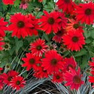 Amestec flori anuale rosii (0,5 g), seminte de flori anuale rosii, Agrosem