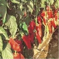 Ardei Capia Potomac F1 - 500 de seminte Ardei Capia foarte productiv Hazera