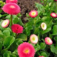Banutei mix (0.1 grame) seminte de flori planta anuala cu multe ramificatii, Agrosem