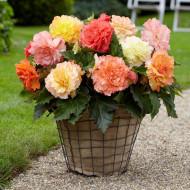Begonie Samba Mixed (3 bulbi), floare mare, amestec de culori, bulbi de flori