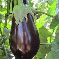 Black Pearl F1 - 500 sem - Seminte de vinete cu fructe inchise la culoare foarte lucioase de o calitate exceptionala rezistente la transport fara spini si productie ridicata de la Enza Zaden