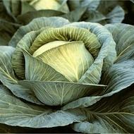 Burton F1-1000 sem.- seminte de varza alba,120 zile,rezistenta fuzarioza,3-6kg,pt.murat de la Hazera