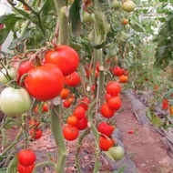 Buzau 47 – 0.7 gr – Seminte Tomate Romanesti Semitimpurii de la Mefim Agro