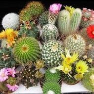 Cactus Mix - 60 sem - Seminte de Cactus Mix