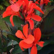 Canna Neubert (1 bulb), floare exotica mare, culoare rosu coral, bulbi de flori