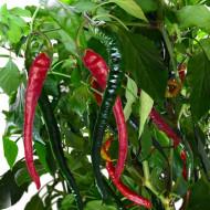 Cayenne (150 seminte) de ardei iuti subtiri si lungi, Prima Sementi