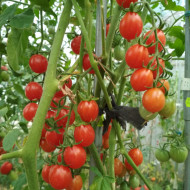 Cherry Swettie (50 seminte) rosii cherry foarte dulci timpurii soi mama a tomatelor Sweet Million F1, SUA