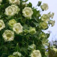 Cobea alba (3 seminte), seminte de planta perena urcatoare cu flori mari, albe, Agrosem