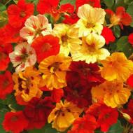 Condurul Doamnei mix (9 seminte), seminte de Papucul Doamnei, plante anuale urcatoare, de diferite culori, Agrosem