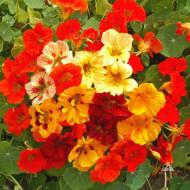 Condurul Doamnei pitic mixTropaeolum nanum (2 g), plante cu flori colorate Papucul Doamnei, utile in indepartarea insectelor daunatoare ale legumelor, Opal