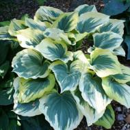 Crin de toamna Hosta Liberty (ghiveci 1,5 L), planta decorativa cu frunze foarte mari, colorate in verde-albastrui si galben-auriu