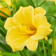 Crin Hemerocallis Stella de Oro (ghiveci 1,5 L), crin de o zi cu flori mari, ondulate, culoare galben-aurie