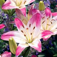 Crini Lollypop (3 bulbi), roz cu alb, bulbi de flori