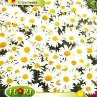 Crizantema - Seminte Flori Crizantema Planta Anuala de la Florian