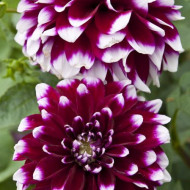 Dalie Decorative Purple and White (1 bulb), floare ciclam cu alb anuala, bulbi de flori