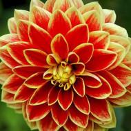 Dalie Maxime (1 bulb), floare culoare rosu cu galben, bulbi de flori
