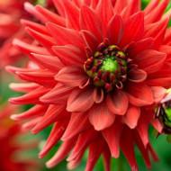 Dalie Red Pigmy (1 bulb), bulbi de dalii cu flori rosii, semi-cactus, bulbi de flori