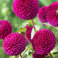Dalie Rocco (1 bulb), floare culoare roz, bulbi de flori
