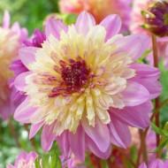 Dalie Take Off (1 bulb), floare culoare roz cu galben, bulbi de flori
