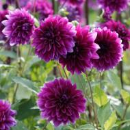Dalie Thomas Edison (1 bulb), floare culoare ciclam, bulbi de flori