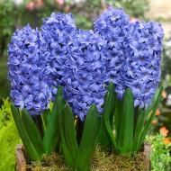 Delft Blue (3 bulbi), zambile albastre parfumate, bulbi de flori