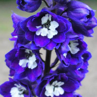 Delphinium Dark Blue White Bee (in ghiveci de 1 L), rasad de Nemtisor de gradina cu flori elegante colorate in albastru-purpuriu regal si alb stralucitor in centru