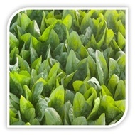 El Prrado F1 - 100.000 sem - Seminte de spanac primavara toamna iarna frunza ovala verde inchis recoltare baby sau la maturitate de la Syngenta